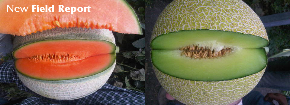 New Field Report Melons-01