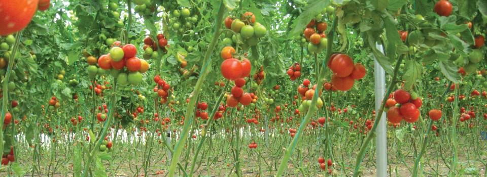 ara tomatoes-01