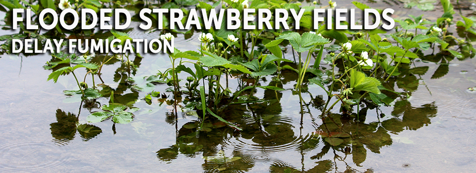 Flooded strawberries